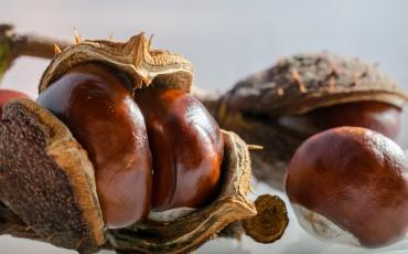 horse-chestnut-202482_960_720