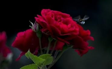 rose-810042_960_720