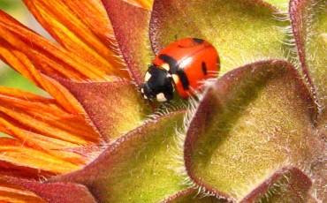 ladybug-1468900_960_720